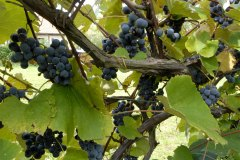 FH_grapes_1247
